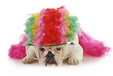 Silly Dog - English Bulldog Dressed Up Like A Clown On White Background Poster by Willee Cole