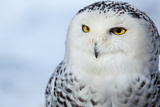 Snowy Owl (Bubo Scandiacus) Posters van  l i g h t p o e t