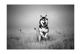 Husky Dog Running Print by  miketea88