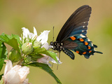 Pipevine Swallowtail Butterfly Feeding On A Hibiscus Flower Posters by Sari ONeal