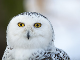 Snowy Owl (Bubo Scandiacus) Photo by  l i g h t p o e t