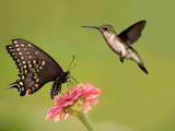 Black Swallowtail Butterfly Feeding On Pink Flower With A Hummingbird Hovering Next To It Prints by Sari ONeal