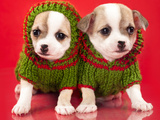 Puppy Chihuahua Dressed Sweater In Red Background Prints by  Lilun