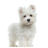 Maltese Puppy Standing, Looking At The Camera, 2 Months Old, Isolated On White Photographic Print by  Life on White