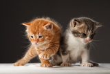 Two Funny Playful Little Red Hair Kittens Playing With Each Other Poster by  PH.OK