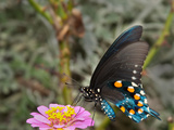 Green Swallowtail Butterfly On Light Pink Zinnia Posters by Sari ONeal