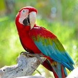 Macaw Sitting On Branch Print by  mirceab