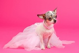 Adorable Chihuahua Dressed Like Ballerina Dancer Photographic Print by  vitalytitov