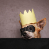 A Cute Chihuahua With A Crown And Mask On Photographic Print by  graphicphoto