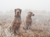 Two Weimaraner Dogs In Heavy Fog On A Cold, Frosty Winter Morning Posters by Sari ONeal