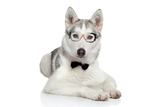 Siberian Husky Dog In Bow Tie On White Background Photographic Print by  Jagodka