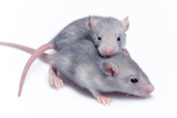 Cute Baby Rats Resting On White Background Print by  goinyk