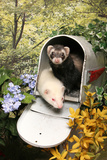 Ferrets In A Mailbox Photographic Print by  Blueiris
