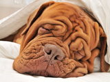 Wrinkled Dog Dogue De Bordeaux Dreaming In Bed With White Blanket Photographic Print by  vitalytitov