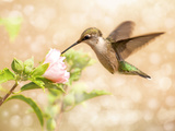 Dreamy Image Of A Young Male Hummingbird Feeding On A Light Pink Althea Flower Photographic Print by Sari ONeal