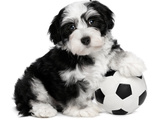 Cute Havanese Puppy Dog With A Soccer Ball Reprodukcja zdjęcia autor mdorottya