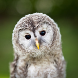 Close Up Of A Baby Tawny Owl (Strix Aluco) Photographic Print by  l i g h t p o e t