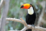 Toucan Outdoor - Ramphastos Toco Prints by geanina bechea