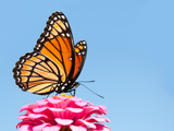 Brilliant Viceroy Butterfly Feeding On A Bright Pink Zinnia Against Blue Skies Posters by Sari ONeal