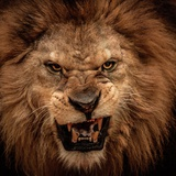 Close-Up Shot Of Roaring Lion Photographic Print by NejroN Photo