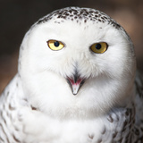 Snowy Owl (Bubo Scandiacus) Photographic Print by  l i g h t p o e t