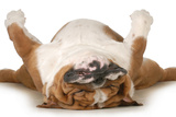 Dog Sleeping Upside Down Isolated On White Background - English Bulldog Photographic Print by Willee Cole