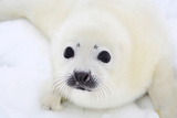 Baby Harp Seal Pup On Ice Of The White Sea Photographic Print by  zanskar