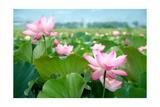 Lotus Flower Blossom Plakater af videowokart