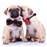 Lady Mops Puppy Whispering Something Or Kissing Its Gentleman Partner While Seated Fotografisk tryk af Viorel Sima
