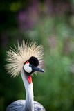 Close-Up Of A Grey Crowned Crane (Balearica Regulorum) Posters by  l i g h t p o e t