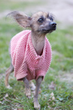 Mexican Naked Dog (Xoloitzcuintle) In Funny Dog Clothes Posters by Natalia D.