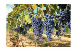 Tuscany Wine Grapes Posters by  ilfede