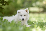 Portrait Of A Samoyed Dog Puppy Photographic Print by  nerkz