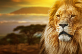 Lion Portrait On Savanna Landscape Background And Mount Kilimanjaro At Sunset Prints by PHOTOCREO Michal Bednarek