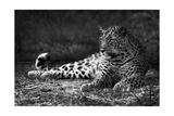 Leopardo Pósters por  Donvanstaden
