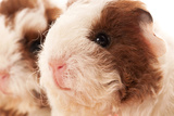 Baby Guinea Pig Prints by  joannawnuk