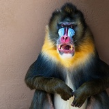 Picture Of A Colourful Displeased Mandrill Photographic Print by NejroN Photo