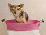 Chihuahua Puppy Taking A Bath Wearing Goggles Sitting In Pink Bathtub Posters by  vitalytitov