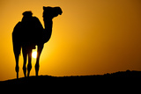 Sun Going Down in a Hot Desert: Silhouette of a Wild Camel at Sunset Print by  l i g h t p o e t