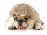 Funny Dog - English Bulldog Wearing Silly Wig And Glasses Isolated On White Background Photographic Print by Willee Cole