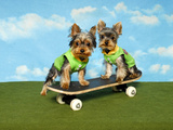 Yorkies On A Skateboard Posters by  Blueiris
