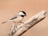Carolina Chickadee On A Dry Limb Against Muted Winter Background Photographic Print by Sari ONeal