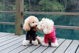 Two Poodle Dog Standing Posters by  Raywoo