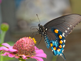 Green Swallowtail Butterfly On Pink Zinnia Print by Sari ONeal