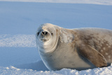Portrait Snarling Crabeater Seal On A Sunny Day Print by  pilipenkoD