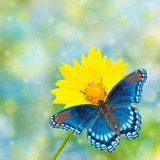 Red-Spotted Purple Admiral On Yellow Coreopsis Flower Posters by Sari ONeal