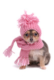 Chihuahua Puppy Funnily Dressed With Scarf And Hat For Cold Weather, Isolated Fotografisk tryk af vitalytitov