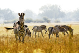 Zebra Herd In The Wild Prints by  Donvanstaden
