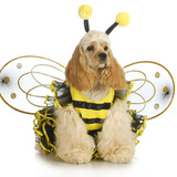 Dog Dressed Like A Bee - American Cocker Spaniel Wearing A Bumble Bee Costume Posters by Willee Cole