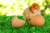 Little Chicken With Eggshell On Grass On Bright Background Prints by  Yastremska